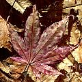 Japanese Maple Tree Leaves by Kenny Glotfelty