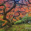 Japanese Maple Tree by Mark Kiver