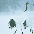 Japanese Or Red-crowned Cranes by Tim Laman