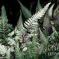 Japanese Painted Fern by Living Color Photography Lorraine Lynch