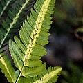 Japanese Painted Fern by Maria Urso