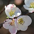 Japanese Quince 4 by Maria Urso