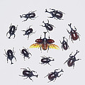 Japanese Rhinoceros Beetle Males by Kazuo  Unno