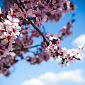 Japanese Sakura by Anthony Citro