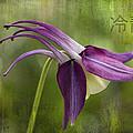 Japanese Serenity Columbine Blossom by Kathy Clark