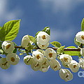 Japanese Snowbell Branch Panorama by Anna Lisa Yoder