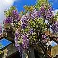 Japanese Wisteria On Trellis by Rich Walter