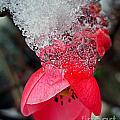 Ice Flower by Nina Ficur Feenan