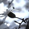 Jasmine Blossom by John Feiser