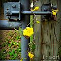 Jasmine Flowers On Gate Latch by Renee Trenholm