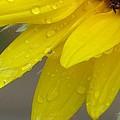 Jaune Petals by Sonali Gangane