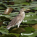 Javan Pond Heron Dthn0071 by Gerry Gantt