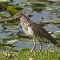 Javan Pond Heron With A Fish Dthn0069 by Gerry Gantt