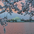 Jefferson Memorial Cherry Blossoms by Suzanne Stout