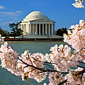 Jefferson Memorial Cherry Trees by Brian Jannsen