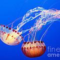 Jelly Dance - Large Jellyfish Atlantic Sea Nettle Chrysaora Quinquecirrha. by Jamie Pham