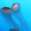 Jelly Fish 5d24945 by Wingsdomain Art and Photography