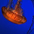 Jellyfish 2 by Tom Winfield