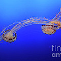 Jellyfish 7 by Bob Christopher
