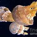 Jellyfish 8 by Bob Christopher