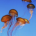 Jellyfish Swarm by Robert Woodward