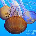 Jellyfish Trio by Vivian Christopher