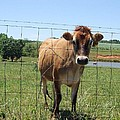 Jersey Cow In Georgia by Lisa Wormell