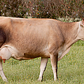 Jersey Cow In Pasture by Michelle Wrighton