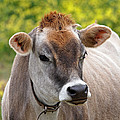 Jersey Cow With Attitude - Square by Gill Billington