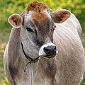 Jersey Cow With Attitude - Vertical by Gill Billington