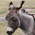 Jerusalem Donkey by Trent Mallett