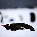 Joe Fox Fine Art - Gentoo Penguin Pygoscelis Papua Lying In The Snow Cuverville Island Antarctica by Joe Fox