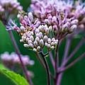 Joe Pye Weed And Bug by Steve Harrington