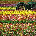 John Deere Tulips by Susan Garren