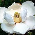 John's Magnolia by Barbara Chichester