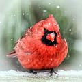 Jolly Old ....... Cardinal  by Kerri Farley