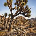 Joshua Tree 16 by Diana Powell