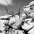 Joshua Tree 25 by Alex Snay