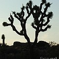 Joshua Tree At Sundown by Patricia Quandel