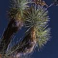 Joshua Tree By Moonlight by Rick Berk