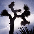 Joshua Tree by Dayne Reast
