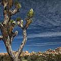 Joshua Tree In Joshua Tree National Park No. 279 by Randall Nyhof