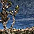 Joshua Tree In Joshua Tree National Park No. 279 by Randall Nyhof