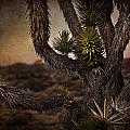 Joshua Tree In Mojave National Preserve by Evie Carrier