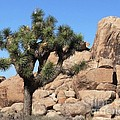 Joshua Tree by Patricia Quandel