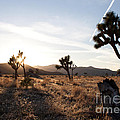 Joshua Tree Sunset by John Daly