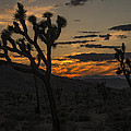 Joshua Tree Sunset Silhouette 3 by Lee Kirchhevel