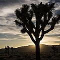 Joshua Tree Sunset Silhouette 4 by Lee Kirchhevel