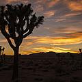 Joshua Tree Sunset Silhouette 5 by Lee Kirchhevel