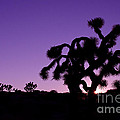 Joshua Trees by Tiffany Rantanen